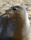 Dolly the monk seal